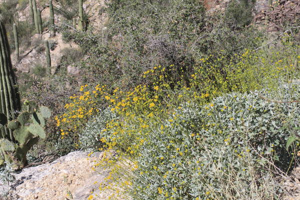 wildflowers along Sabino Canyon Phoneline trail, Mar 17, 2017